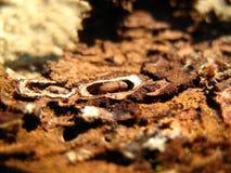 Bark beetle Stock Image