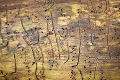 Bark beetle - dead tree Stock Image