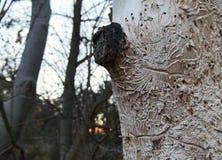 Free Bark Beetle, Ips Typographus, Tracks Carved On Tree Stock Photography - 138030452