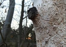 Bark beetle, Ips typographus, tracks carved on tree. Bark beetle carving tracks imprint with busy patterns destroying the trunk wood of a living tree in a forest stock photography