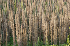 Bark Beetle Killed Pine Trees Stock Photos