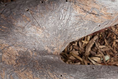 Bark beetle patterns on a dead eucalyptus Royalty Free Stock Image