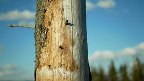 Bark wood beetle pest Ips typographus infestation, spruce and bast tree infested attacked by European spruce, hand