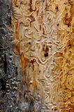 Bark beetle tracks Stock Image