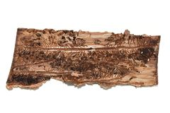 Free Bark Beetle Tracks On A Piece Of Bark Stock Images - 153610984