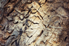 Bark beetle tunnels. Wood with the bark beetle tunnels royalty free stock photography