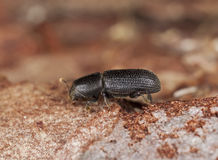 Bark beetle on wood. Stock Photo