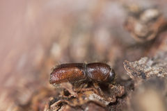Bark beetle on wood. Royalty Free Stock Photography