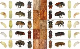 Bark beetles. Larva, pupa, imago and bark galleries isolated on a white background stock photo