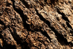 Bark of Big Mango Tree Stock Image