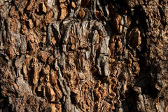 Bark of Big Mango Tree Royalty Free Stock Images