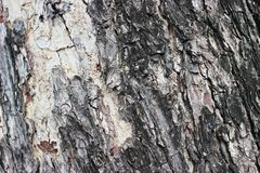 Bark is big tree. Stock Photo