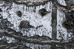 Bark of the birch Royalty Free Stock Image