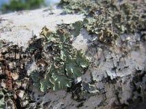 Bark, birch bark, birch, wood texture, elm, birch firewood, logs, mossy bark, patterns on the bark Stock Image