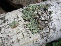 Bark, birch bark, birch, wood texture, elm, birch firewood, logs, mossy bark, patterns on the bark Stock Photos