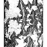 Bark of birch in the cracks texture. Vector illustration.  royalty free illustration