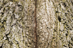 The bark of the birch macro background Stock Images