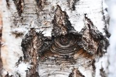 Bark of the birch texture royalty free stock image