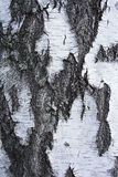 Bark of birch tree Royalty Free Stock Images