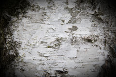 Bark of a birch tree Stock Image