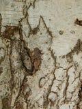 Bark of the birch tree royalty free stock photos