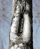 Bark of the birch tree with the shape like a vagina. Bark of the birch tree with the shape that resembles a female vagina Royalty Free Stock Photos