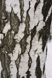 The bark of the birch tree trunk. Close up stock illustration