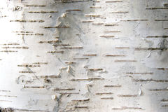 Bark of a birch. White bark of a birch. Nature background Stock Photos