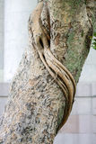 Bark of  Bodhi Tree Stock Images