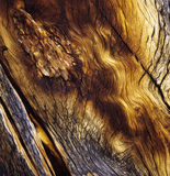 Bark, Bristlecone Pine Stock Photography