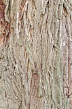 Bark brown willow texture Stock Image