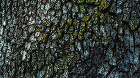 Bark. This is the bark of the century tree in Varbovchets royalty free stock photo