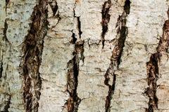 The bark of a Chinese mahogany tree. Closeup on the bark of a Chinese mahogany - Toona sinensis- texture or background Stock Photos