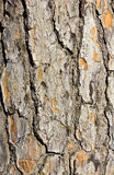 Bark closeup background. Royalty Free Stock Images