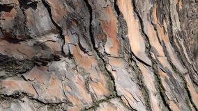 Bark of conifer tree. Close-up. Camera moves slowly down tree trunk.