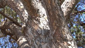 Bark of conifer tree. Close-up. Camera moves slowly up tree trunk.