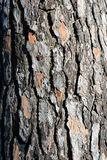 The bark of coniferous wood texture, crust, Siberian larch Stock Photography