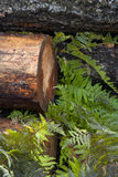 Bark covered log and ferns. Royalty Free Stock Photo