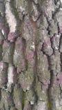bark da árvore Textura Fundo Imagem de Stock