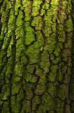 Bark of deciduous tree Royalty Free Stock Photos