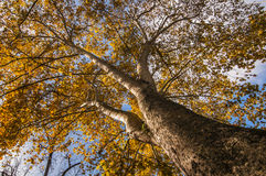 Bark detail of Plane tree Stock Photo