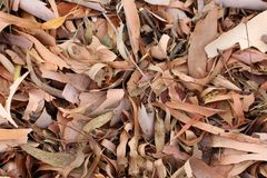 Bark and Dried Leaves from Eucalypt Gum Tree. Mid Summer, the bark and dried leaves have fallen from our Gum Trees.  These Eucalypt Gum Trees shed their bark in Stock Photos