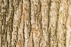 Bark of Elm Royalty Free Stock Images