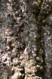 Bark of Elm. Seamless Tileable Royalty Free Stock Image