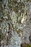 Bark of Elm. Seamless Tileable royalty free stock photography