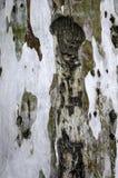 Bark. Eucalyptus bark background, tree in a forest Stock Photos