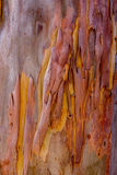 Bark of the Eucalyptus. Beautiful Peeling Bark of the Eucalyptus tree Stock Photo