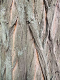 Bark on false acacia (Robinia pseudoacacia). The bark on false acacia (Robinia pseudoacacia Stock Image