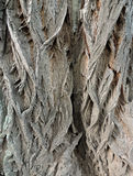 Bark on false acacia (Robinia pseudoacacia) Royalty Free Stock Image