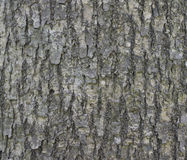 Bark of ginkgo. Royalty Free Stock Images